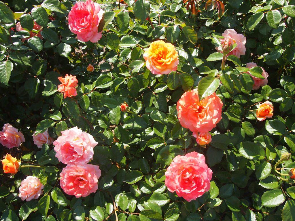 Рози в градината